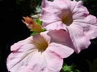 pair of pink petunias